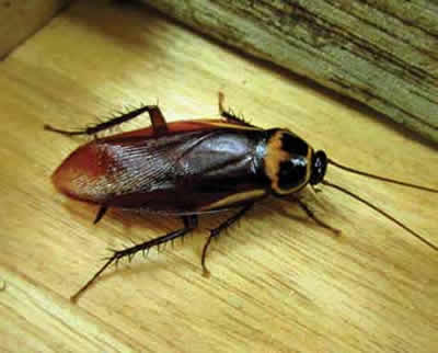 australian-cockroach